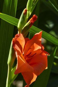 Gladiolen Blüte