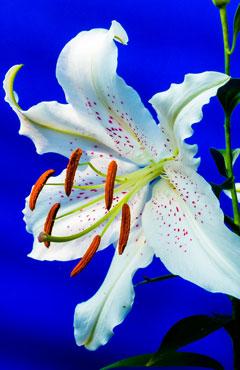 Lilien Blüte