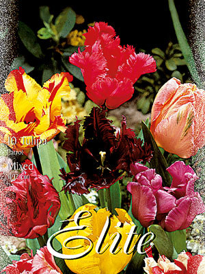 Tulpen-Mixpackungen