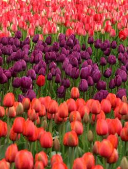 Tulpen Farbkombination
