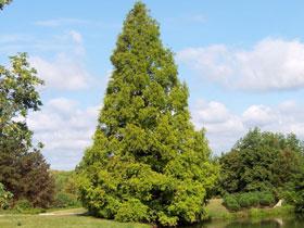 Nadelbaum hoch