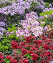 kalktolerante Rhododendren